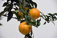 Померанец Чинотто (Citrus Myrtifolia Chinotto) до 20 см. Комнатный, фото 1
