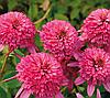 Эхинацея махровая Pink Double Delight (Пинк Дабл Делайт)