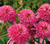 Эхинацея махровая Pink Double Delight (Пинк Дабл Делайт), фото 1