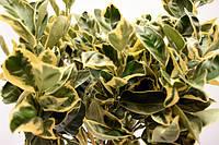"""Апельсин Вариегатный (Пёстролистный) Citrus sinensis """"Foliis variegatis"""" Комнатный"""