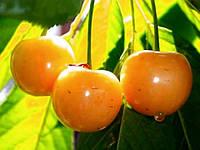Саджанці черешні Драгана жовта