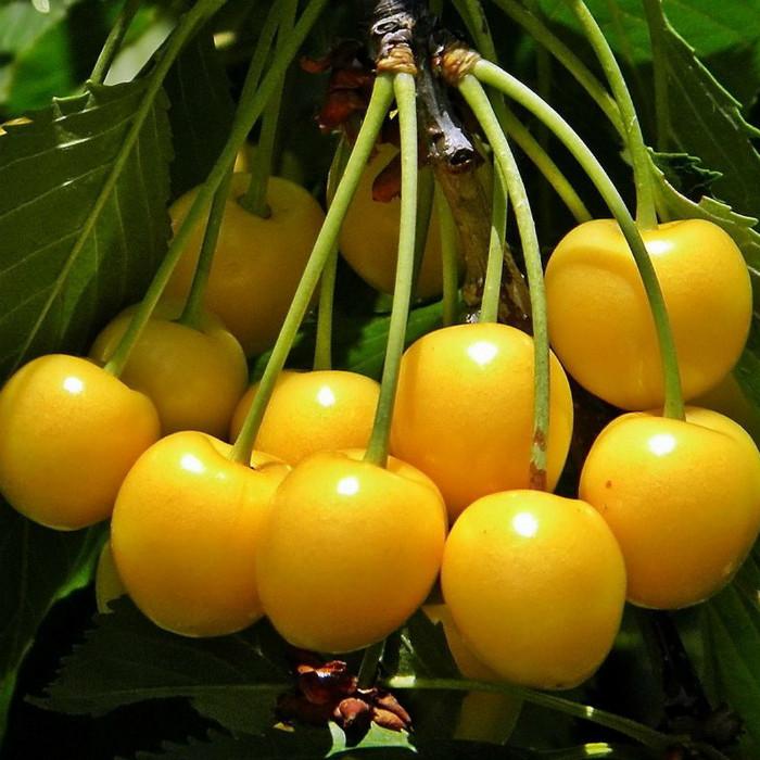 Саджанці черешні Драгана жовта (пізньоспілий сорт)