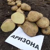 Картофель Аризона, сетка~2,5кг /2-я репр/