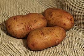 Картофель Тирас,  сетка 2,5 кг  /1-я репр/