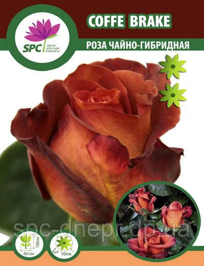 Роза чайно-гибридная Coffe Brake