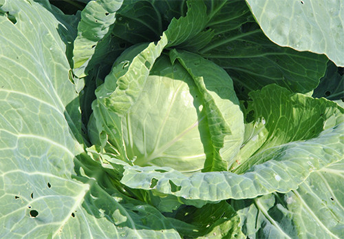 Семена Капуста Июнськая  0,5кг (Satimex)
