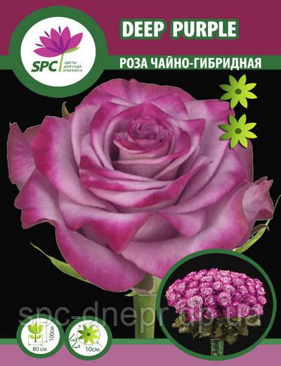 Роза чайно-гибридная Deep Purple