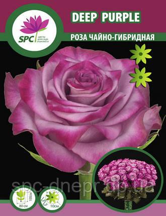 Роза чайно-гибридная Deep Purple, фото 2