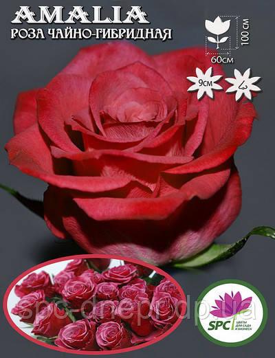 Роза чайно-гибридная Amalia