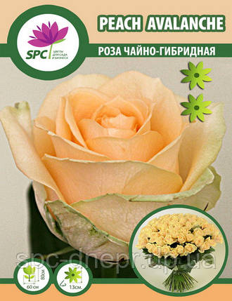 Роза чайно-гибридная Peach Avalache, фото 2