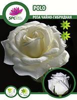 Роза чайно-гибридная Polo