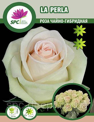 Роза чайно-гибридная La Perla, фото 2