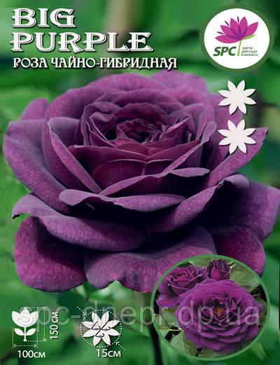 Роза чайно-гибридная Big Purple