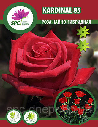 Роза чайно-гибридная Kardinal 85, фото 2