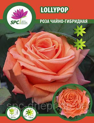 Роза чайно-гибридная Lollypop, фото 2
