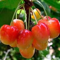Саджанці черешні Наполеон рожева (середньоспілий сорт)
