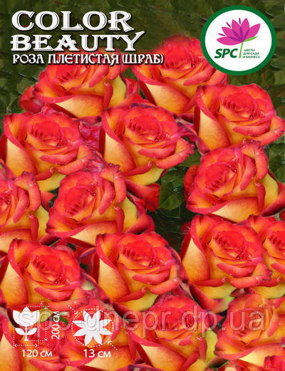 Роза плетистая(шраб) Color Beauty