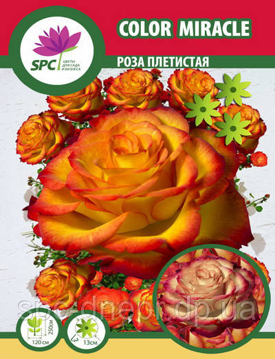 Роза плетистая Color Miracle