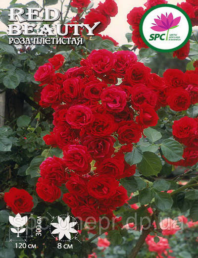 Роза плетистая Red Beauty