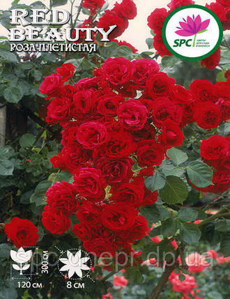 Роза плетистая Red Beauty, фото 2