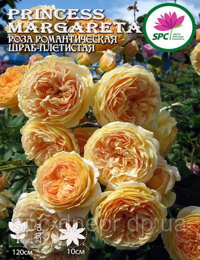 Роза плетистая(шраб)  Princess Margareta