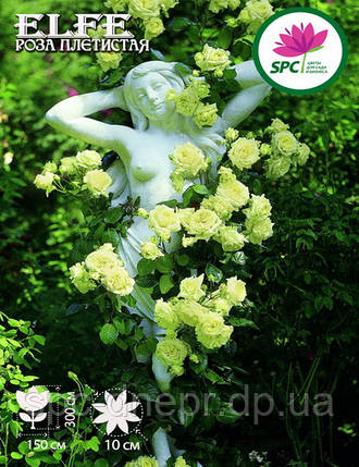 Роза плетистая Elfe, фото 2