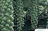 Семена брюссельской капусты Диабло F1 2500 семян Bejo