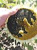 Новинка. Семена подсолнечника ГЕКТОР, Гибрид подсолнечника Гектор устойчив к заразихе и болезням. Олеиновый подсолнечник
