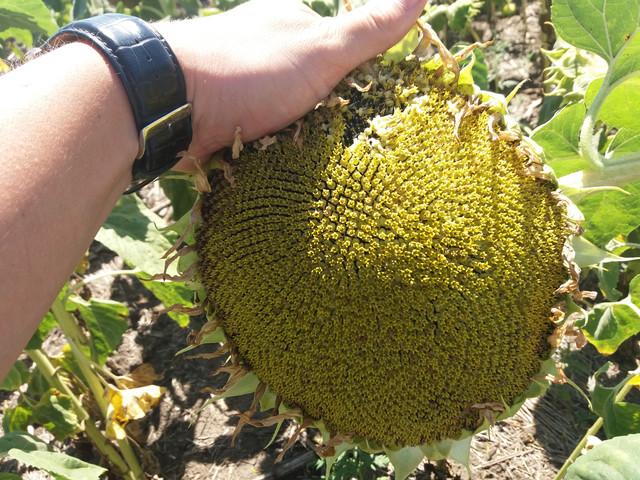 Семена подсолнечника ГЕКТОР, Олеиновый и Урожайный подсолнечник ГЕКТОР устойчивый к болезням гибрид