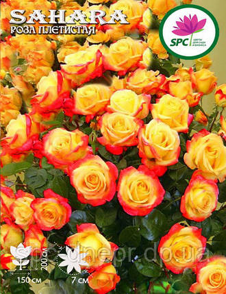 Роза плетистая(шраб) Sahara, фото 2