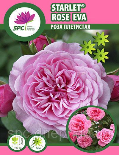 Роза плетистая Starlet®-Rose Eva