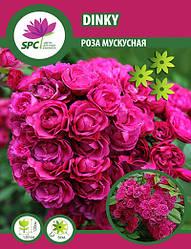Роза мускусная Dinky