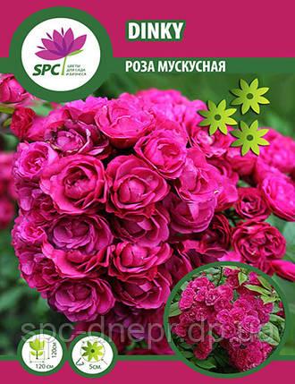 Роза мускусная Dinky, фото 2