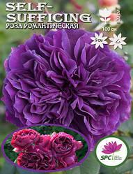 Роза романтическая Self-Sufficing