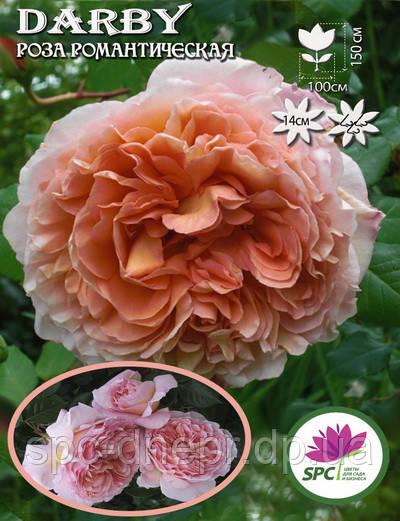 Роза романтическая Darby