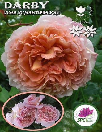 Роза романтическая Darby, фото 2