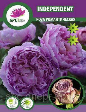 Роза романтическая Independent, фото 2