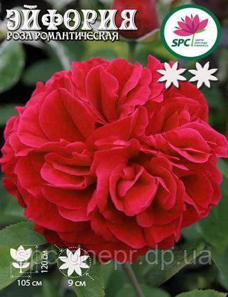 Роза романтическая Euphoria, фото 2