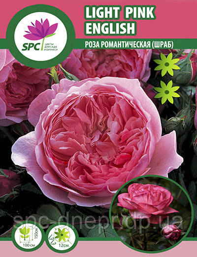 Роза романтическая Light Pink English