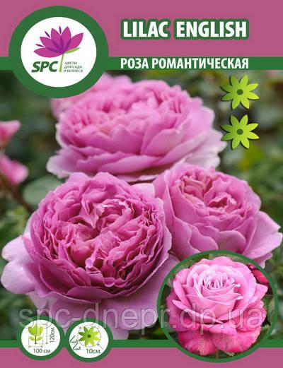 Роза романтическая Lilac English