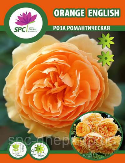 Роза романтическая Orange English