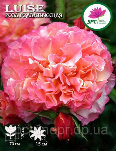 Роза романтическая Luise