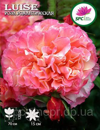 Роза романтическая Luise, фото 2