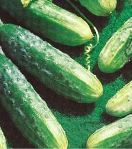 Семена огурцов пчелоопыляемых Рацибор F1 инкрустированный (имп), фото 2