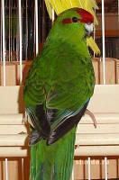 Попугай Какарик - Прыгающий попугай., фото 1