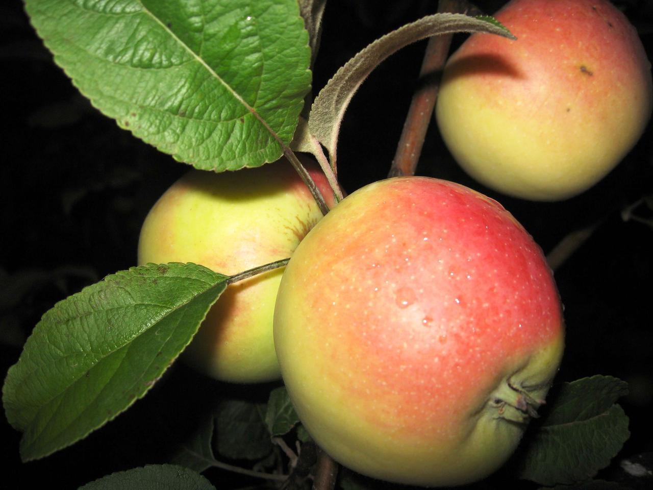 судя снежный кальвиль яблоки фото прошедшим юбилеем