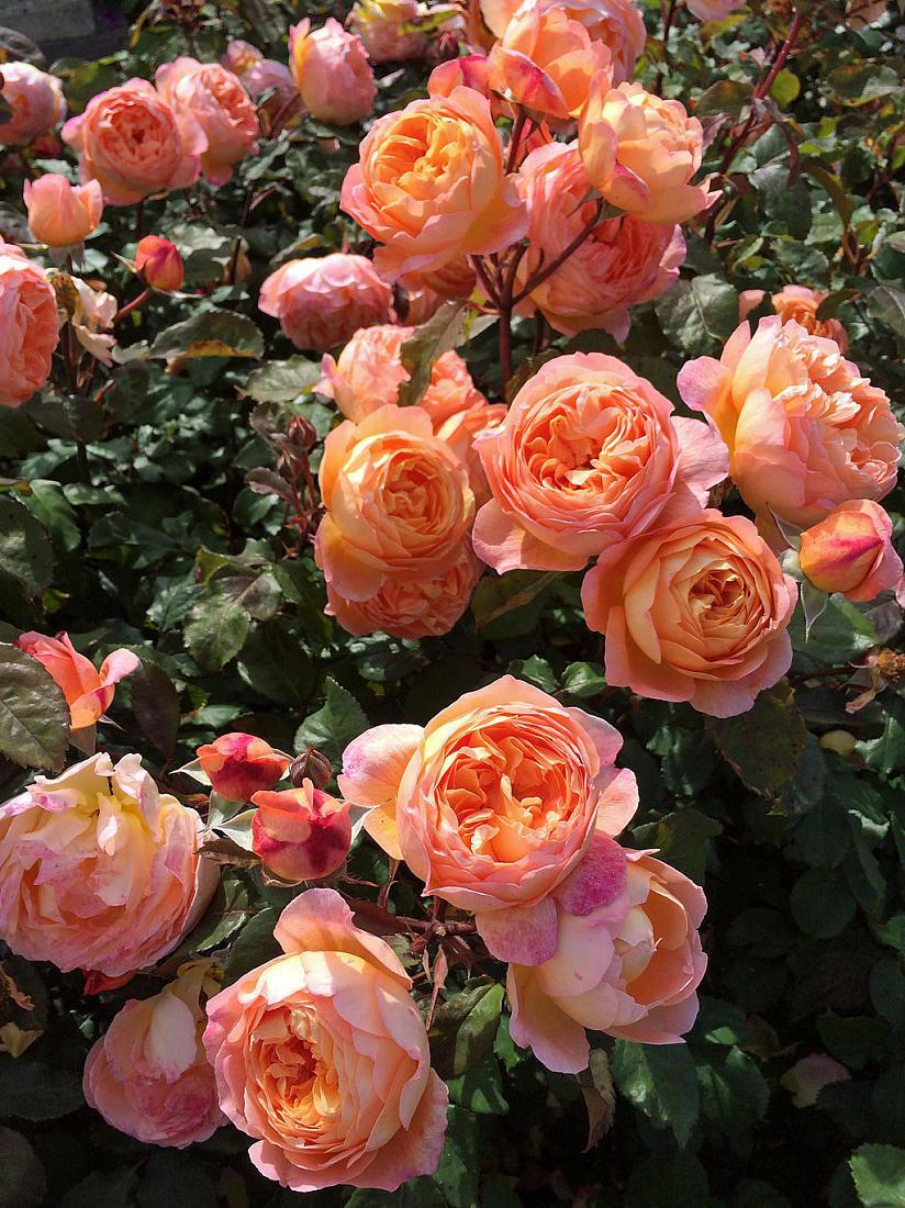 Саджанець Троянда англійська Містер Гамільтон (Mister Hamilton)