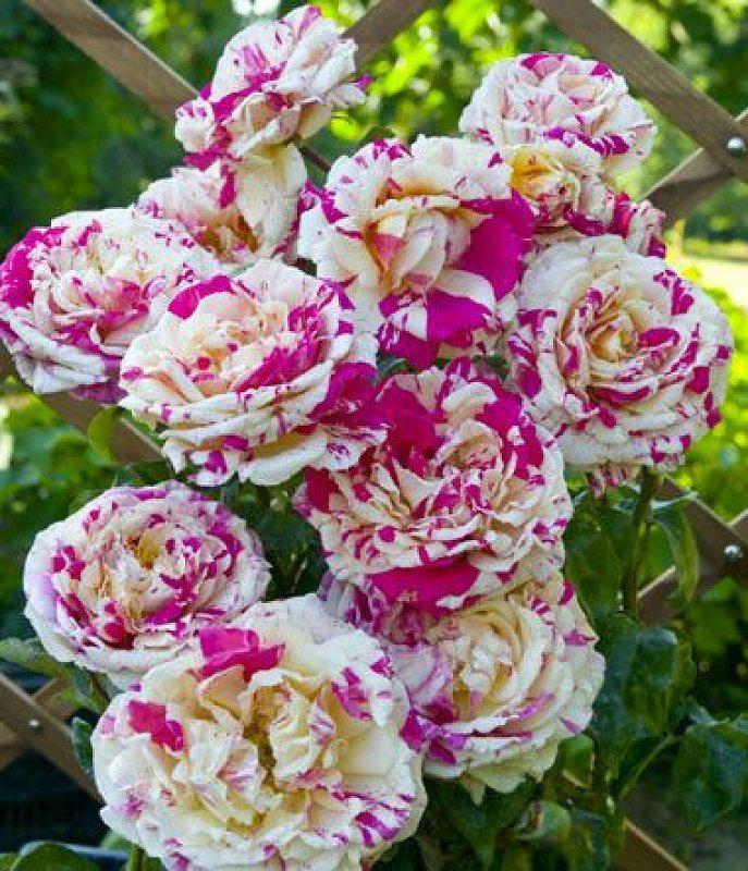 Саджанець Троянда в'юнка Ваніль Фрейз (Vanille Fraise)