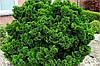 Кипарисовик тупий Nana Gracilis 3 річний, Кипарисовик тупой Нана Грацилис, Chamaecyparis obtusa Nana Gracilis