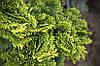 Кипарисовик тупий Nana Gracilis 3 річний, Кипарисовик тупой Нана Грацилис, Chamaecyparis obtusa Nana Gracilis, фото 5